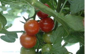 زراعت گوجه فرنگی 1