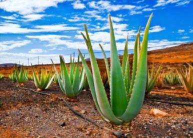 پرورش و تولید برگ گیاه الو ورا 1