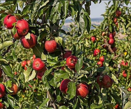راهنمای صحیح پرورش درختان سیب 1