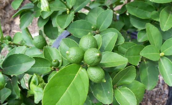 نکات اموزشی مهم در پرورش درختان لیمو 1