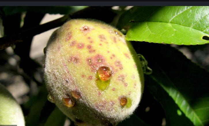 مدیریت باغات درختان میوه هلو و شلیل 1