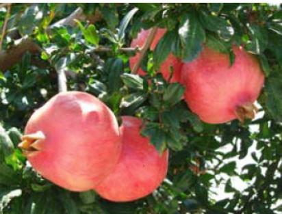 مشکلات درختان انار در تولید میوه 1