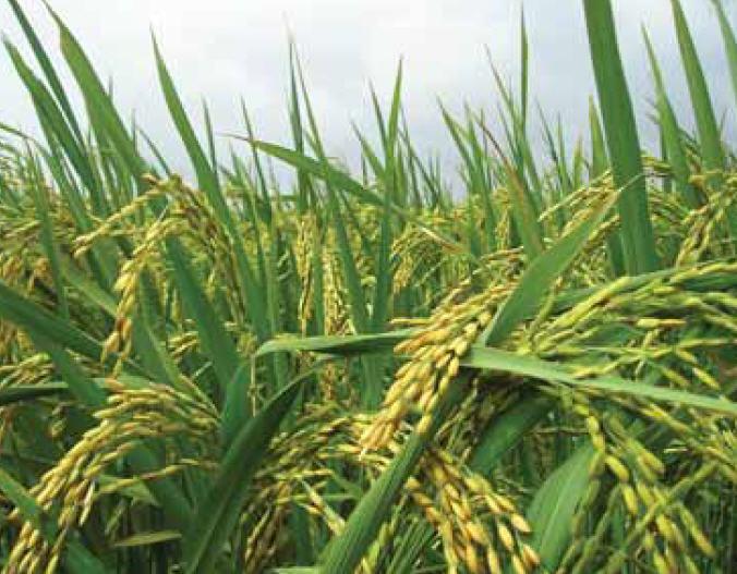 زراعت برنج 1