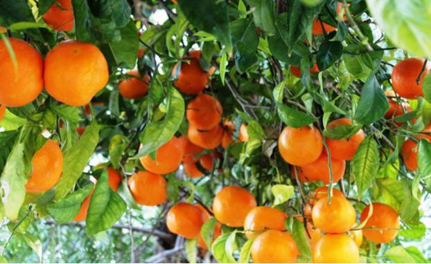 برخی از نکات مهم در پرورش درختان مرکبات 1