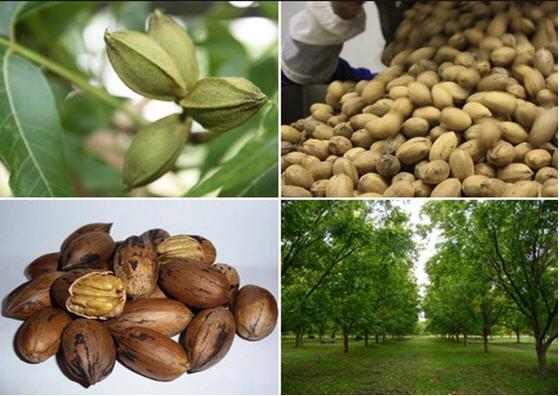 مدیریت باغداری درختان پکان 1