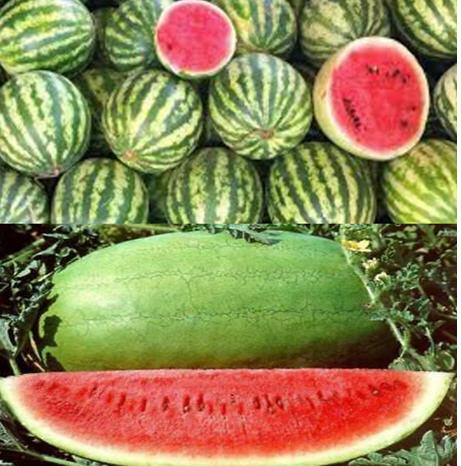 مدیریت زراعت هندوانه 1