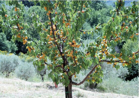 مشکلات درختان زرد الو در تولید میوه 1