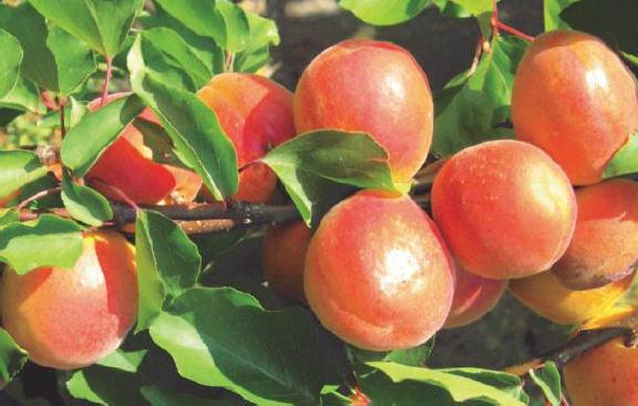 شناسایی و تشخیص افات و بیماری های درختان زردآلو 1