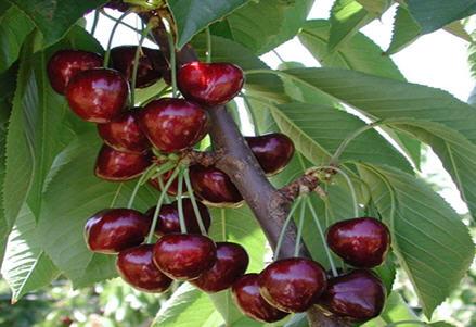 شناسایی و تشخیص افات و بیماری های درختان گیلاس 1