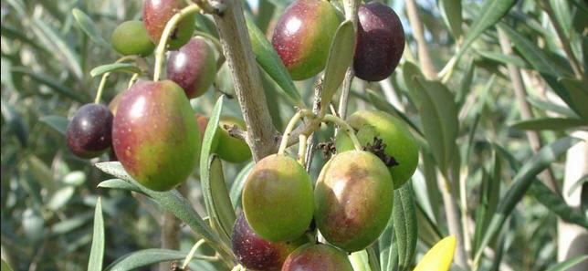 رشدو نمو و میوه دهی درختان زیتون 1