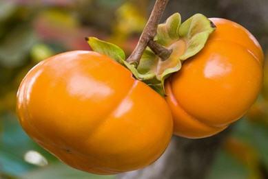 شناسایی و تشخیص افات و بیماری های درختان خرمالو 1