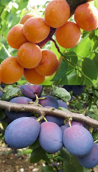 درختان میوه هسته دار ( آلو ، گوجه ، زردآلو ) 1